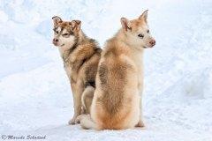 Junge Schlittenhunde