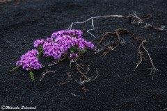 Pflanzen gibt es auf Island mehr als man denkt