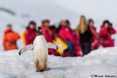 Gentoo penguin, Cuverville Island, Antarctica