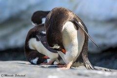 Gentoo penguins, Damoy Point, Antarctica