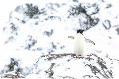 Adelie penguin, Kinnes Cove, Antarctica