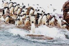 Adelie penguins, Kinnes Cove, Antarctica