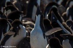 Adelie penguins, Brown Bluff, Antarctica