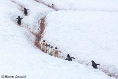 Penguin Highway with Gentoo penguins, Neko Harbor, Antarctica