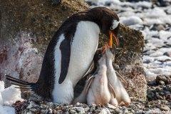 Gentoo penguins, Brown Bluff, Antarctica