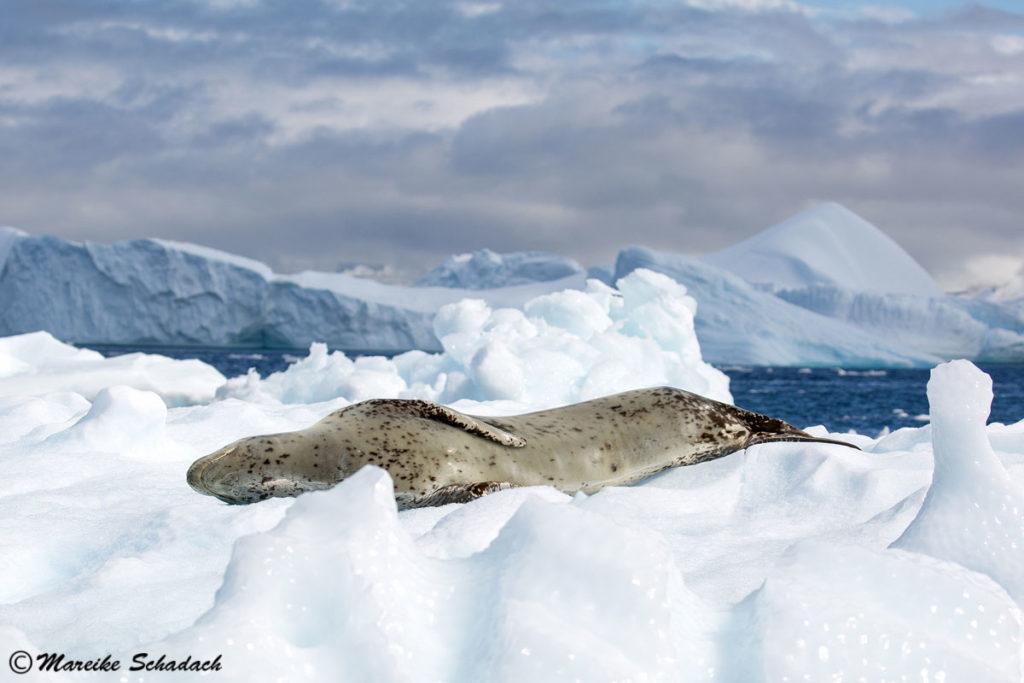 Seeleopard bei Cuverville Island