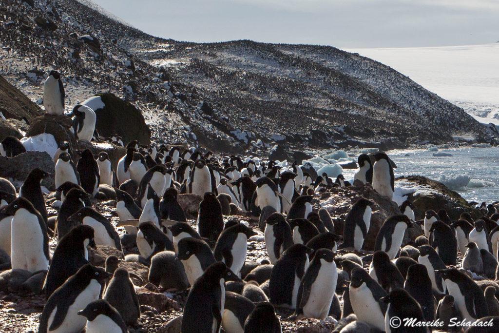 Pinguine Brown Bluff