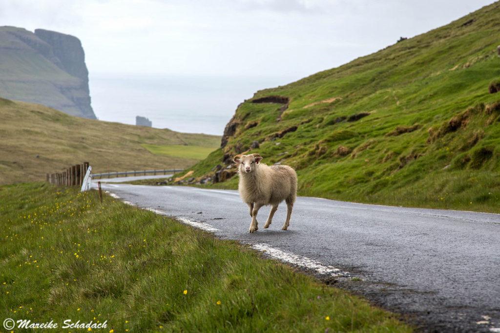 Schafe Färöer Inseln