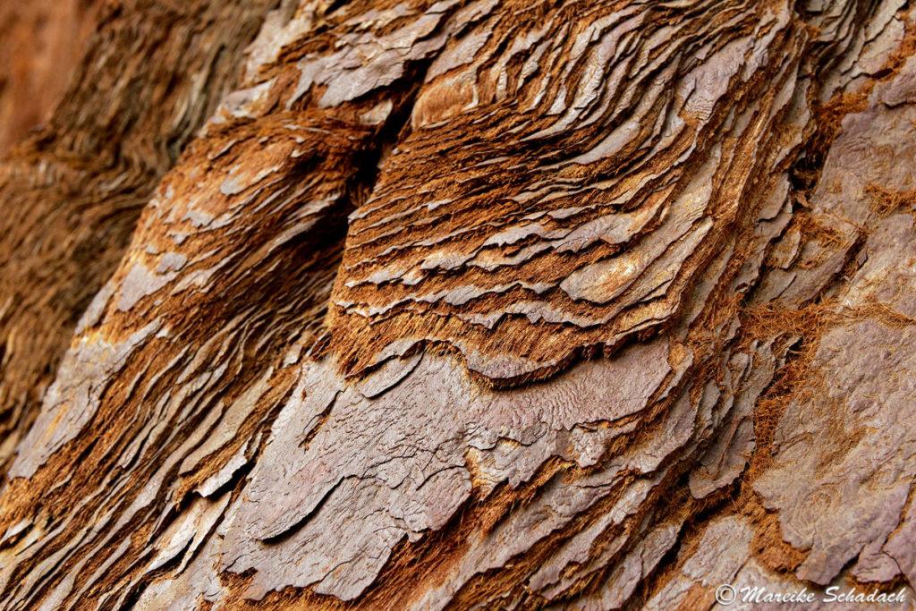 Faserige Rinde eines Giant Sequoia