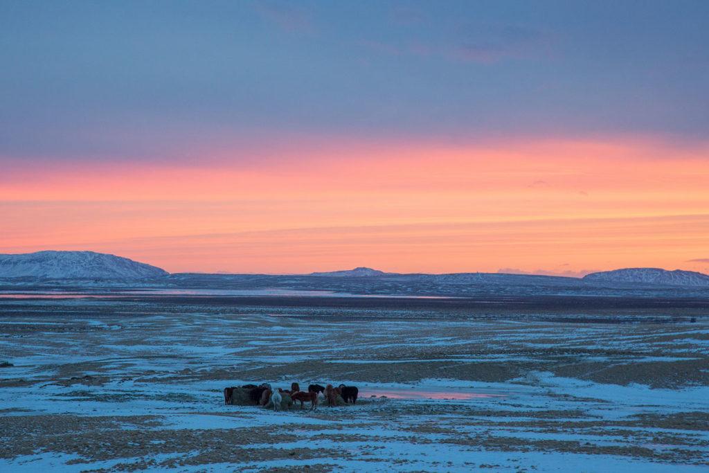 Islandpferde in Island im Winter