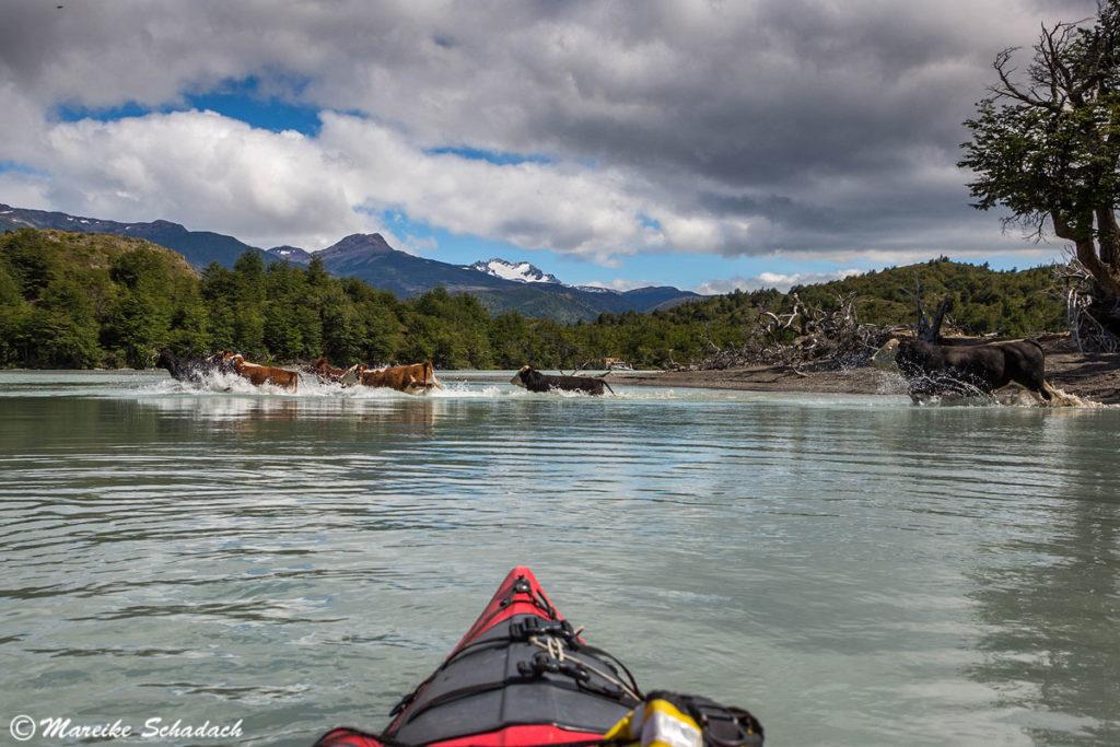 Wilde Kühe während unserer Kajaktour in Patagonien