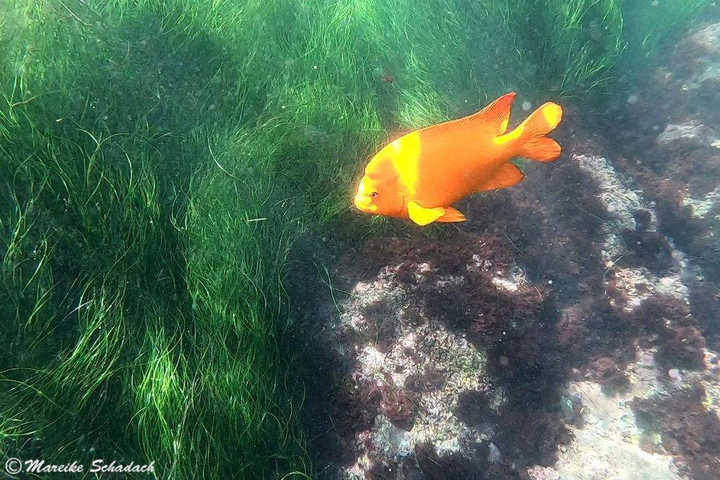 Der Garibaldifisch ist der Staatsfisch in Kalifornien