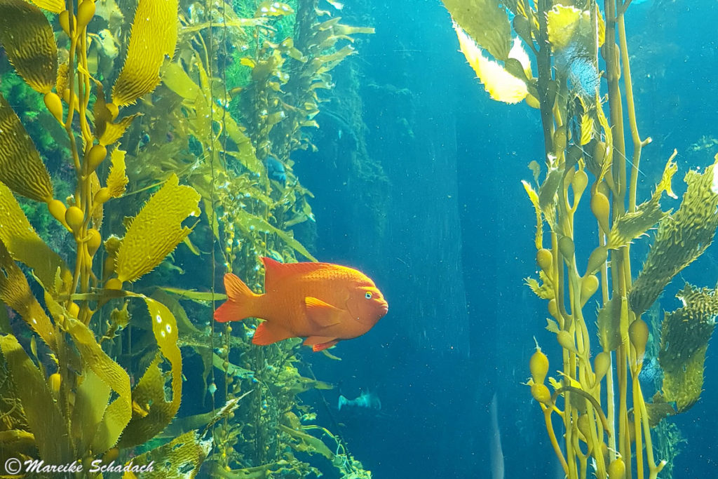 Garibaldifisch im Kelpwald