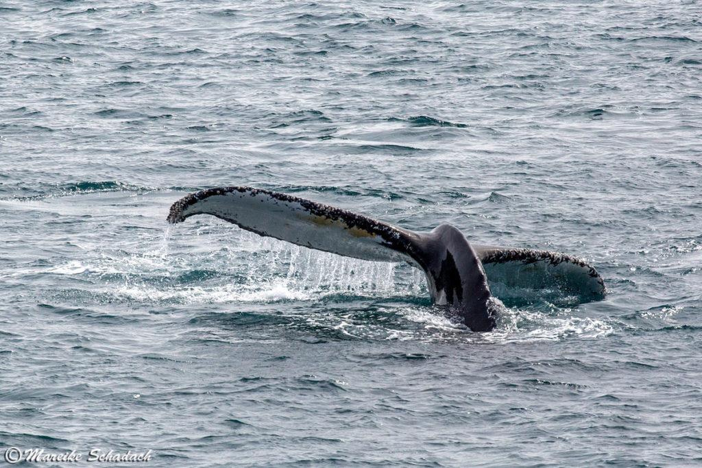 Fluke eines Buckelwals