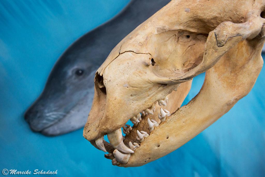 Schädel vom Seeleopard im Acatushún Museum