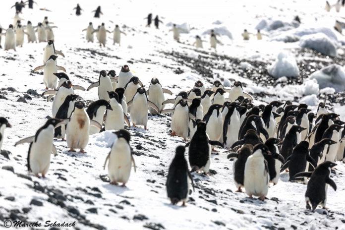 Brown Bluff - Pinguin Party am Tafelvulkan