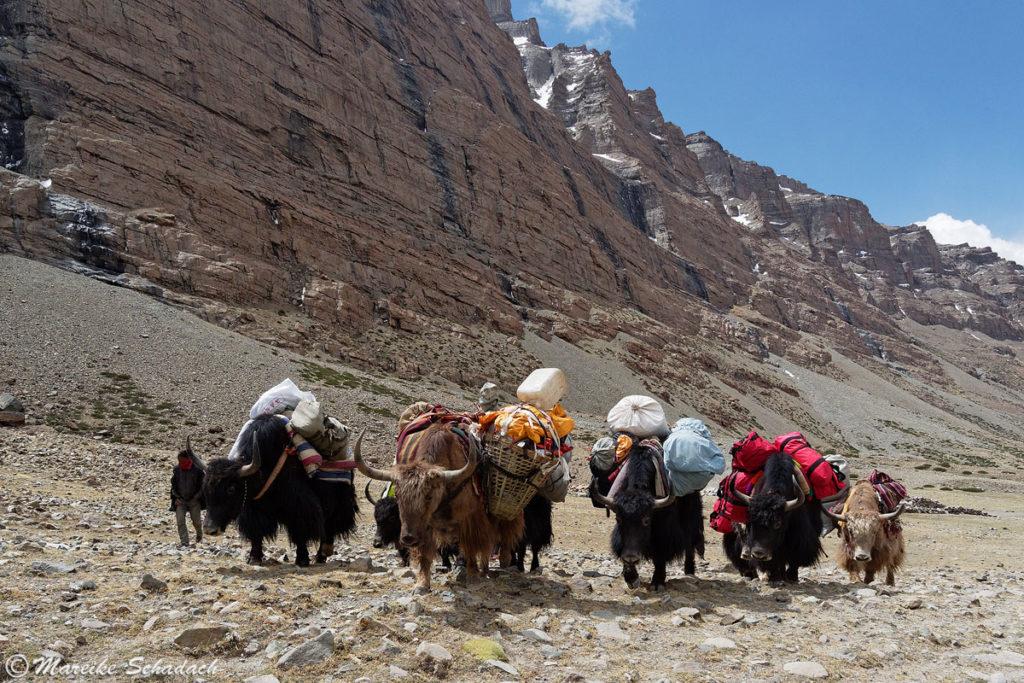 Yaks Mount Kailash