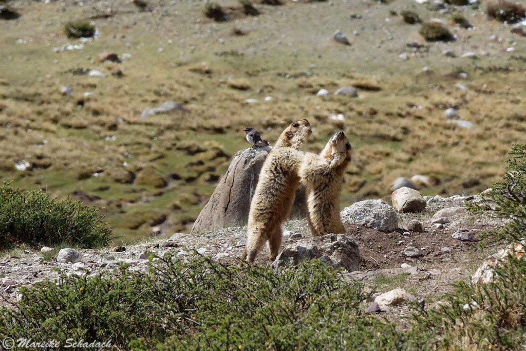 kämpfende Murmeltiere