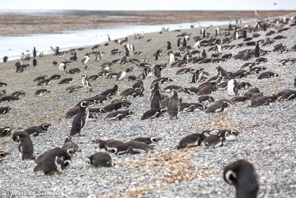 Eines der Highlights im Beagle-Kanal ist ein Spaziergang mit Pinguinen