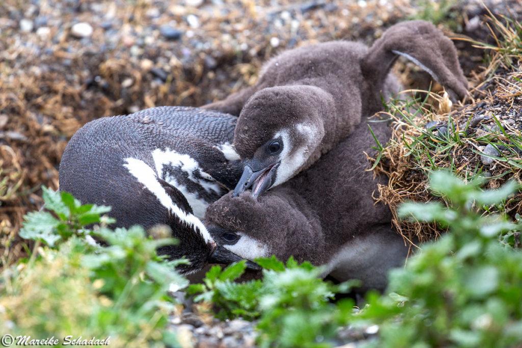 Tipps für Pinguinfotos - Konkurrenzkampf um Futter, Magellanpinguine, Isla Martillo
