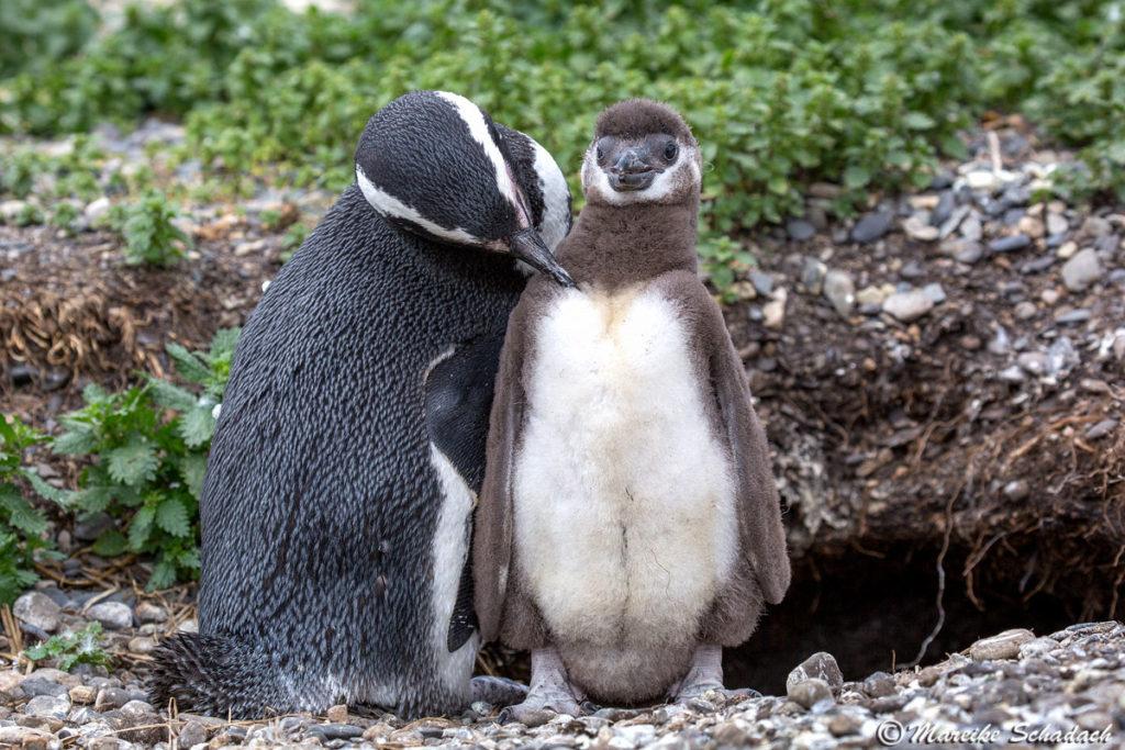 Tipps für Pinguinfotos - auf Details achten, denn in den Pinguinkolonien ist immer was los