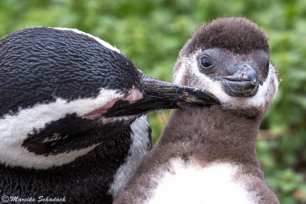Tipps für Pinguinfotos