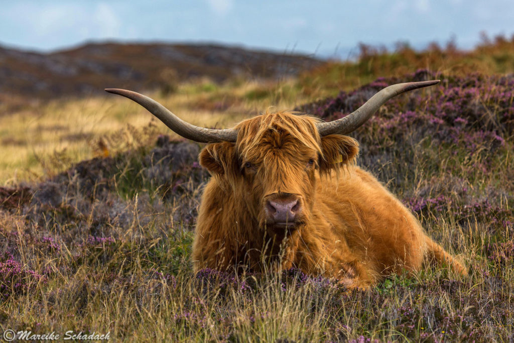 Schottisches Hochlandrind – Highland Cattle, Highlight der Isle of Coll