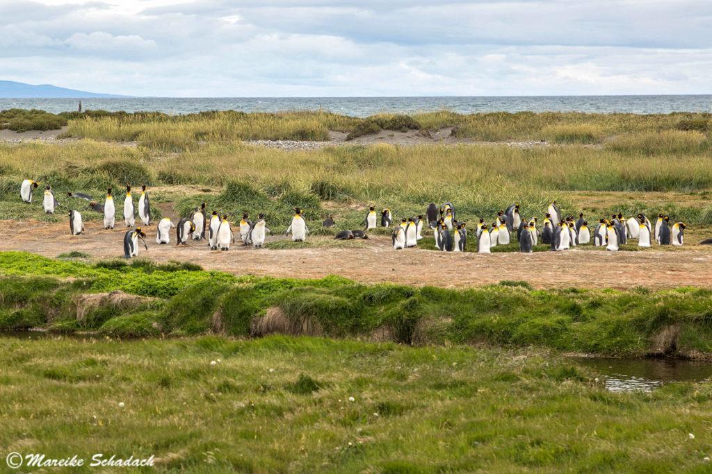 Königspinguine von Feuerland im  Parque Pingüino Rey, Chile