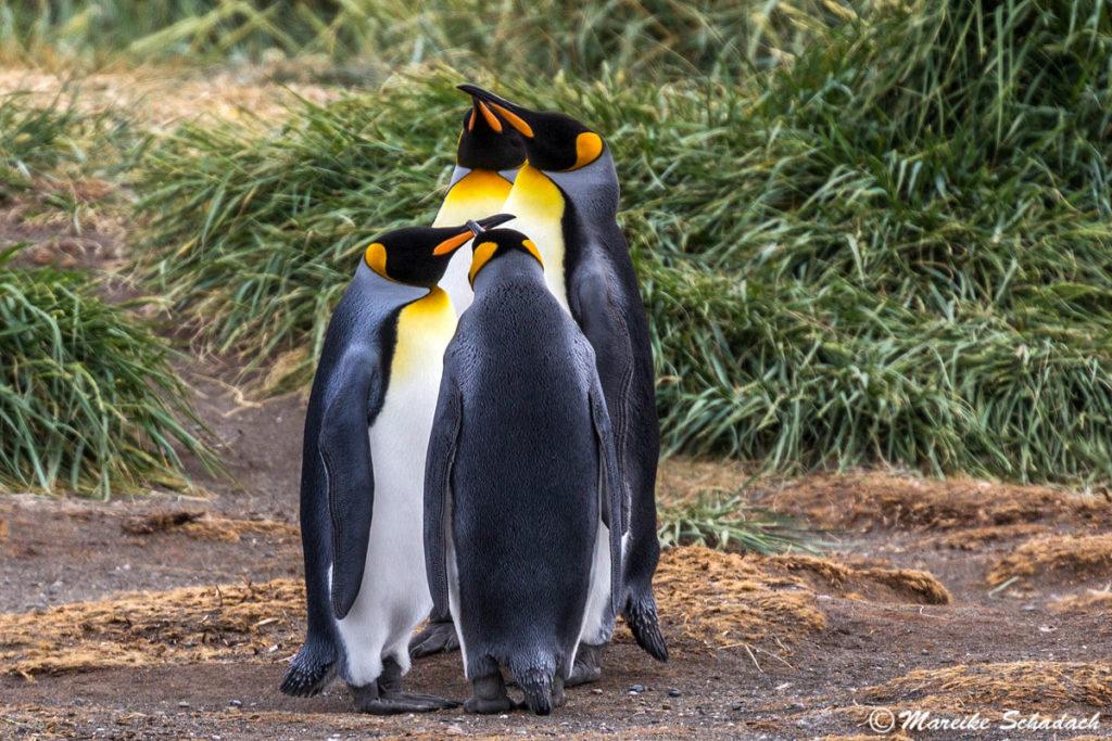 Die Königspinguine vom  Parque Pingüino Rey, Chile