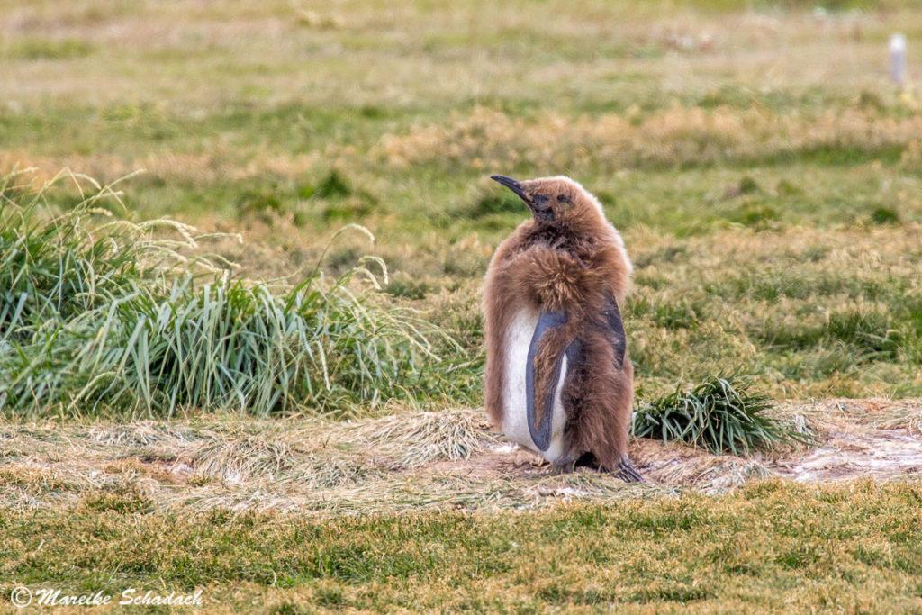 Küken im braunen Jugendkleid,  Parque Pingüino Rey Chile