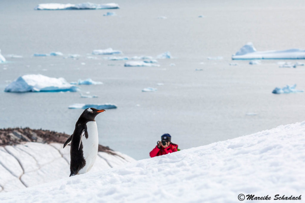 Eselspinguin, Cuverville Island