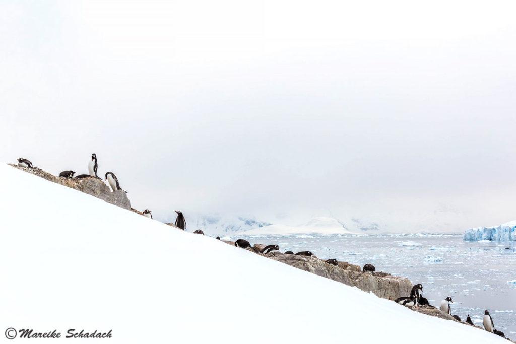 Tipps für Pinguinfotos, Eselspinguinkolonie, Neko Harbour