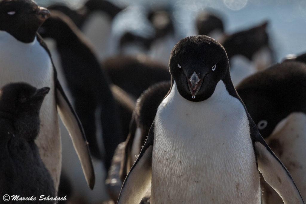 Adeliepinguine auf Brown Bluff - Tipps für Pinguinfotos