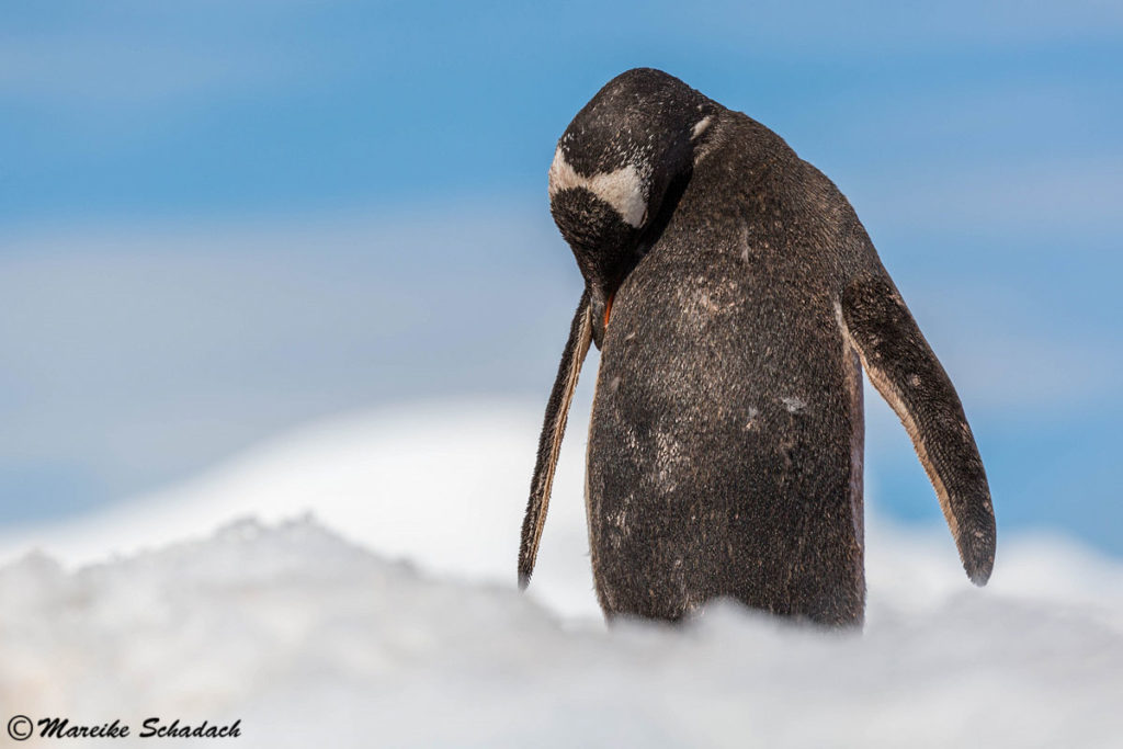 Eselspinguin, Damoy Point, Antarktis