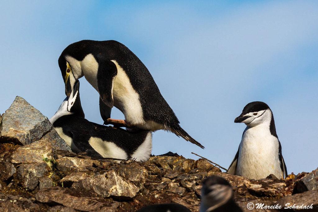 Tipps für Pinguinfotos - auf Details achten: Zügelpinguine bei der Paarung, Half Moon Island