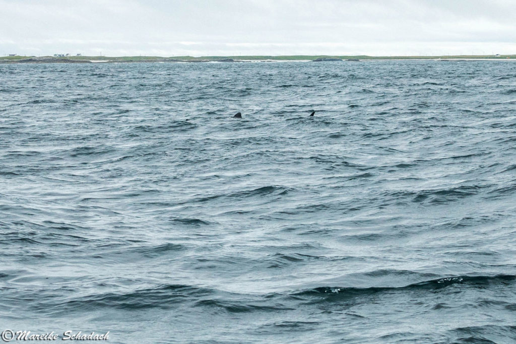 Riesenhai (Basking Shark) vor der Isle of Coll, Schottland