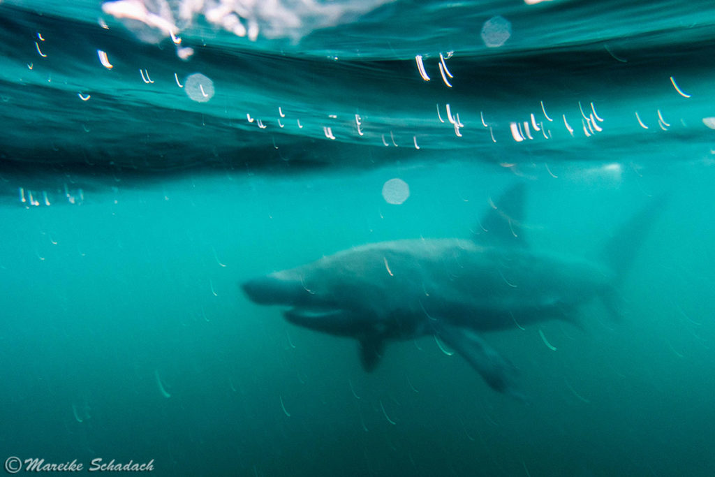 Schottland - Schnorcheln mit Riesenhaien