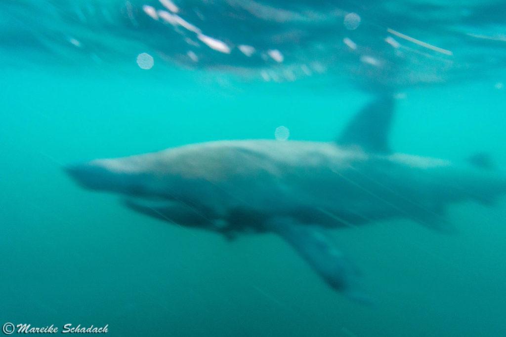 Schnorcheln mit Riesenhaien in Schottland