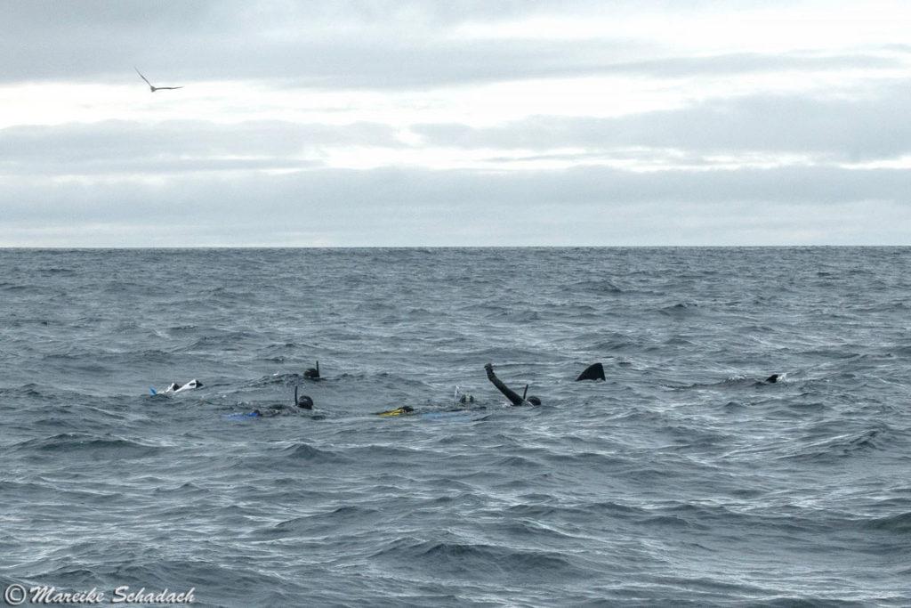 Schnorcheln mit dem Riesenhai (Basking Shark), Isle of Coll, Schottland