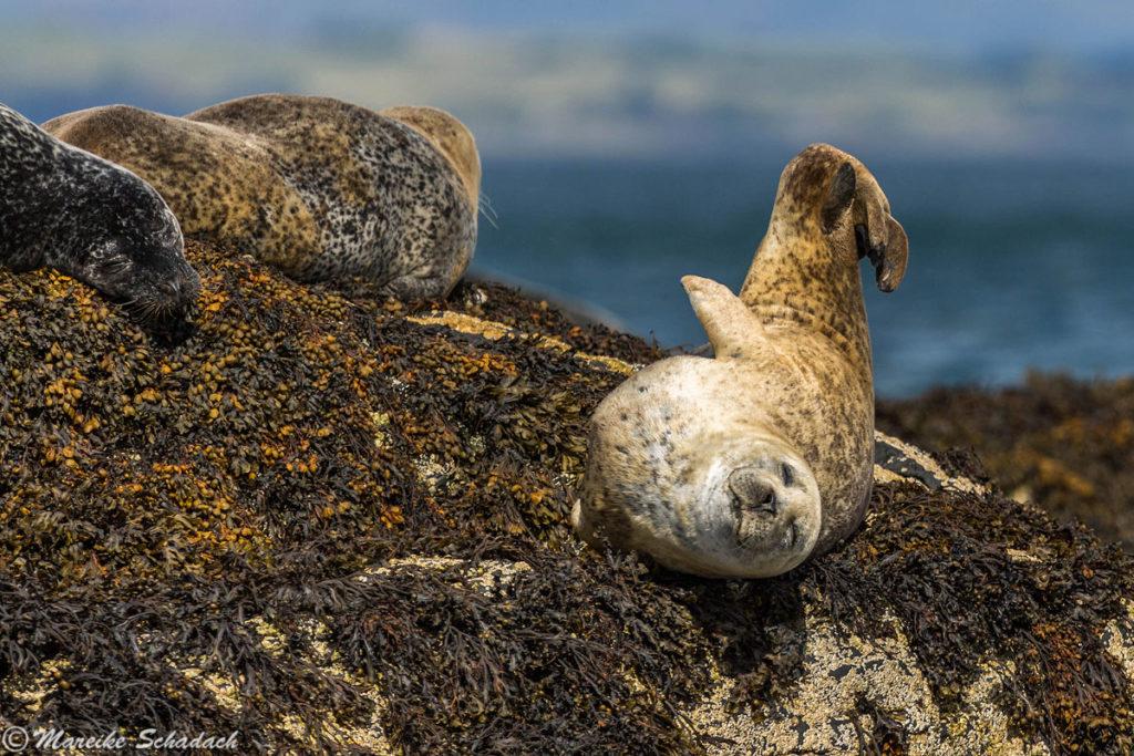 Seehunde vor Oban