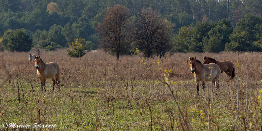 Przewalski-Pferde in der Sperrzone Tschernobyl