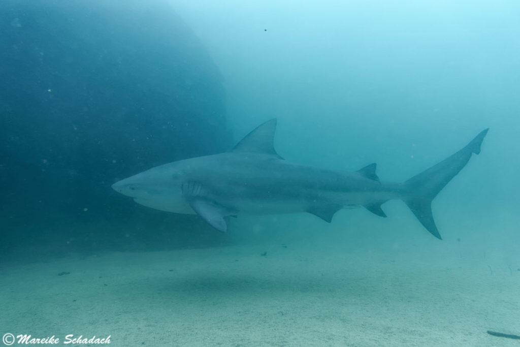 """Bullenhai vor Resten des Wracks """"El Vencedor"""" in Cabo Pulmo, Mexiko"""
