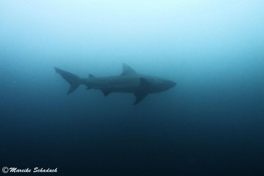 Haitauchen in der Baja California Sur gehörte für mich zu den Highlights in Mexiko.