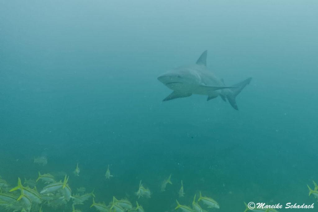 Die Bullenhaie in Cabo Pulmo werden für die Shark Dives nicht angefüttert.
