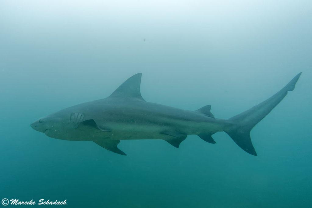 Shark Diving mit Bullenhaien in Cabo Pulmo, Mexiko - Tipps fürs Haitauchen