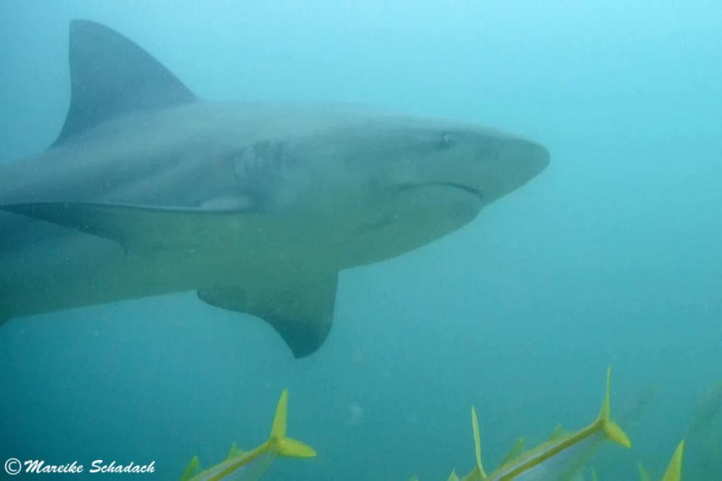 Shark Diving mit Bullenhai vor Cabo Pulmo, Mexiko