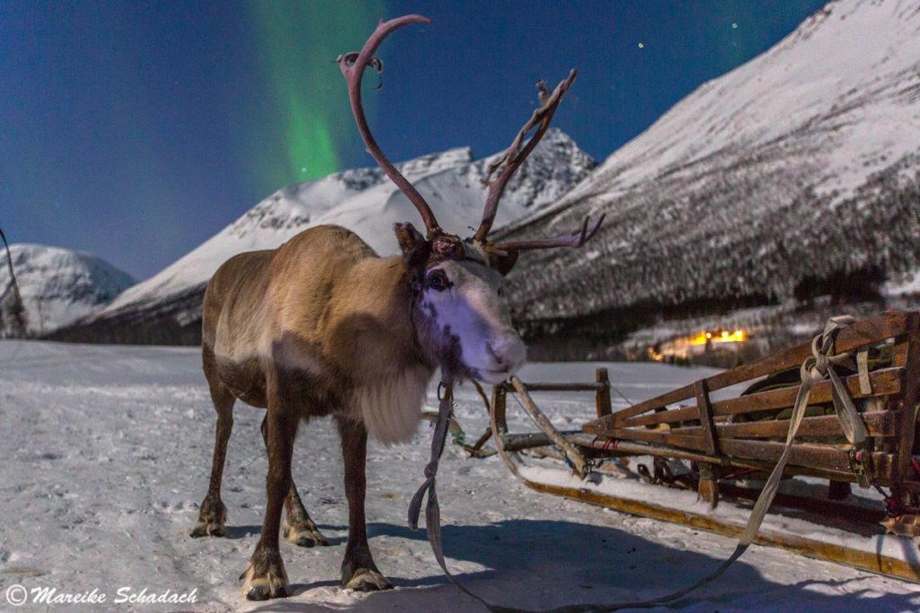 Rentierschlittenfahrt unter Polarlichtern nahe bei Tromsö