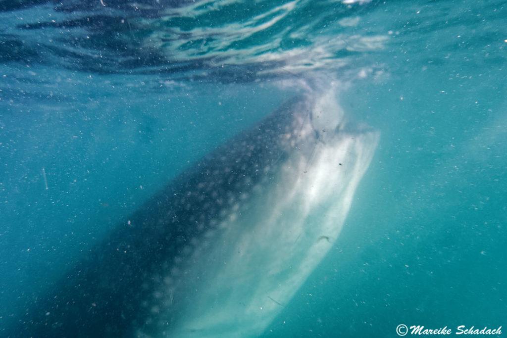 Walhai beim Fressen vor La Paz, Mexiko