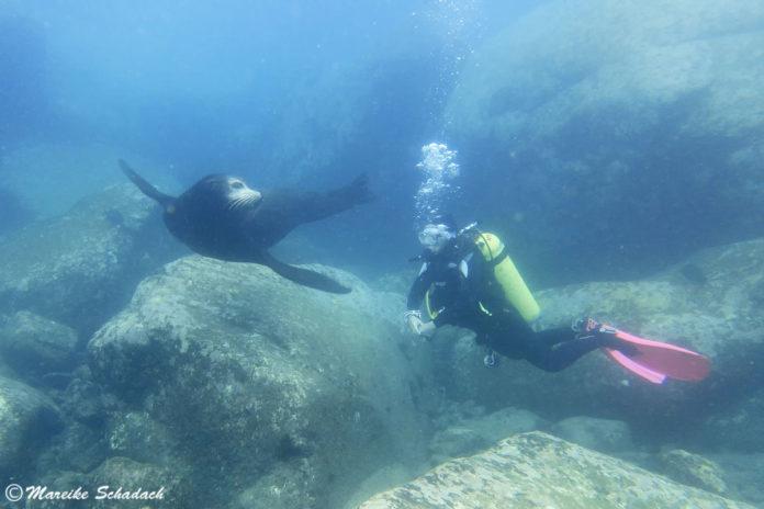 Tauchen mit Seelöwen bei La Paz - ein tierisches Vergnügen!