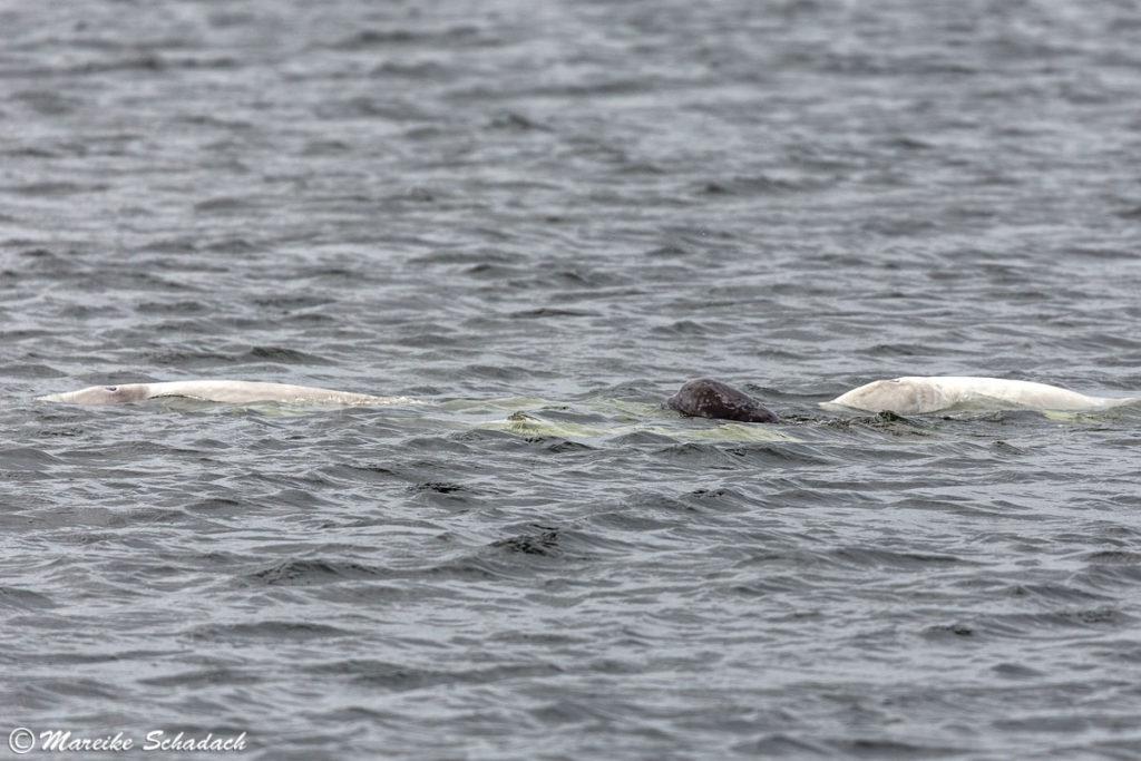 Die Beluga Wale der Solowezki-Inseln - Weisses Meer - Weißwal